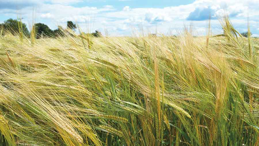 Explorer barley