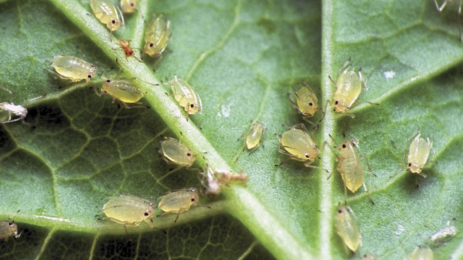 Aphids on a leaf
