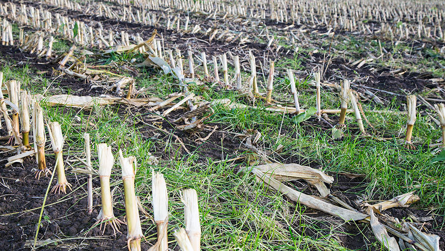 Maize stubble with undersown grass