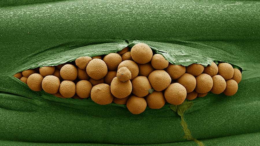 Brown rust spores © Syngenta