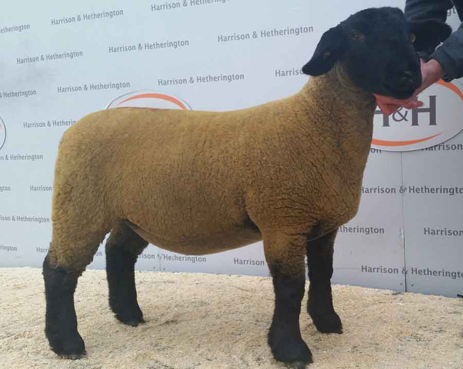 Standout sheep: A February-born twin ewe lamb from Pamela Lupton, Ripon, made 2,000gns
