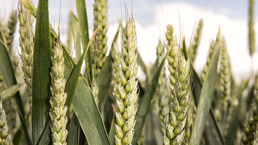 Newly recommended breakmaking wheat variety Zyatt