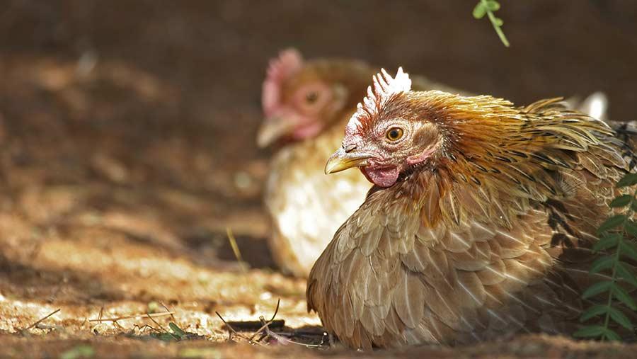Marek's is causing major probelms for Ethiopian poultry farmers © Christian Heinrich / imageBROKER/REX/Shutterstock