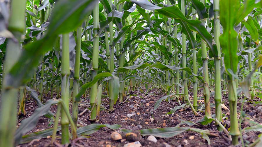 Syngenta Camix press release photo. No credit, Do not reuse