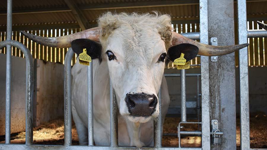 New bull Quattro