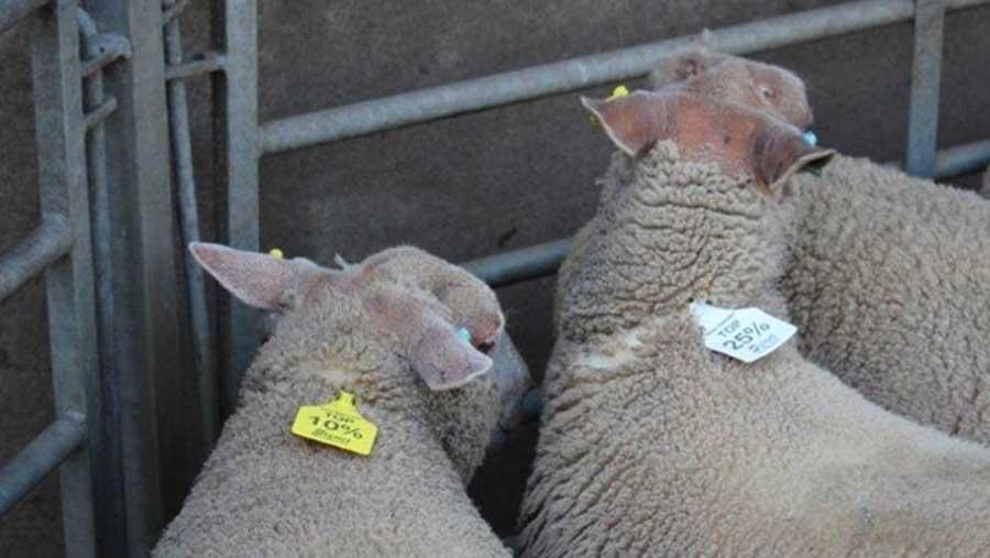 © Signet breeding services, AHDB