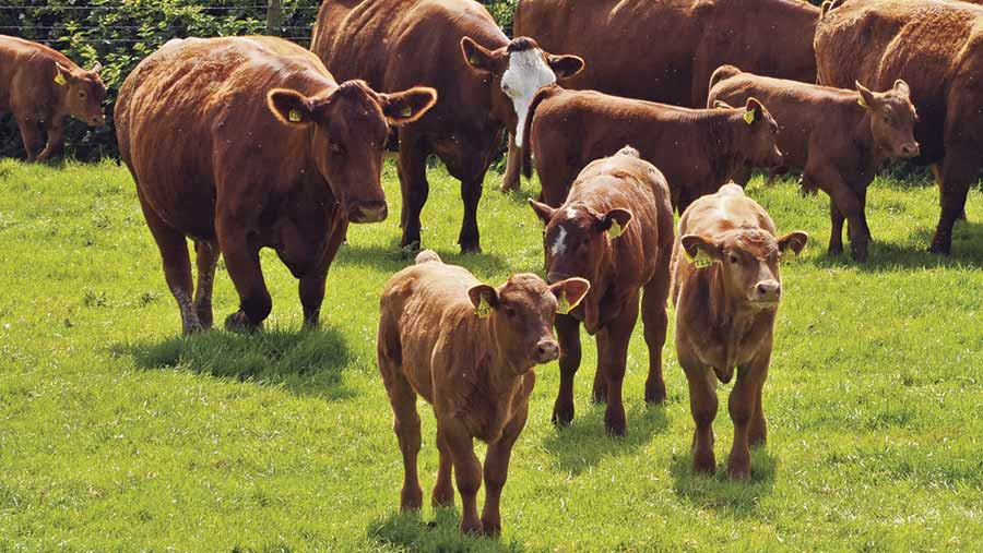 A Net Feed Efficiency EBV has been produced for Stabiliser cattle