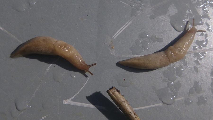 Slugs on trap
