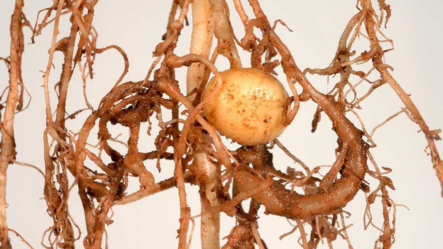 Potato roots with galls © Nigel Cattlin/Alamy