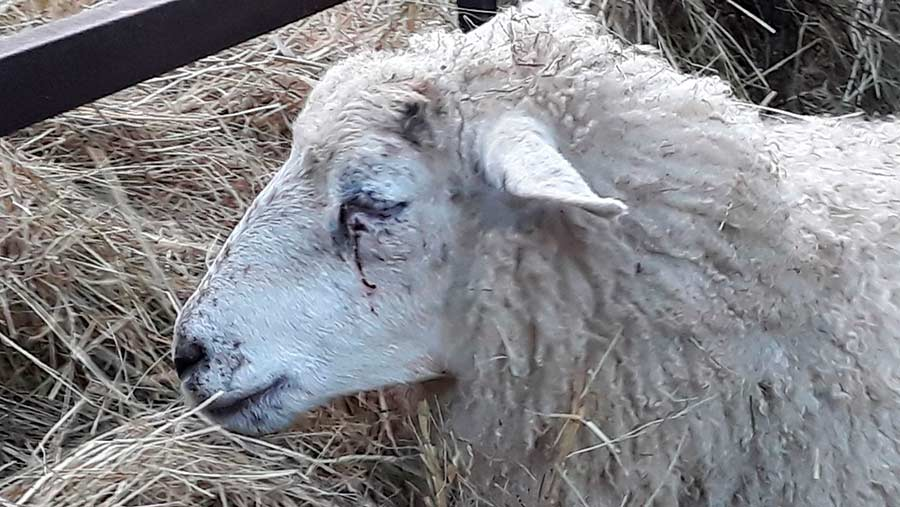 This sheep sustained injuries to its face