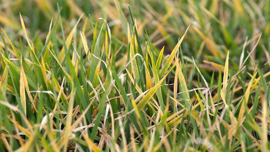 Winter barley lacking nitrogen. © Tim Scrivener