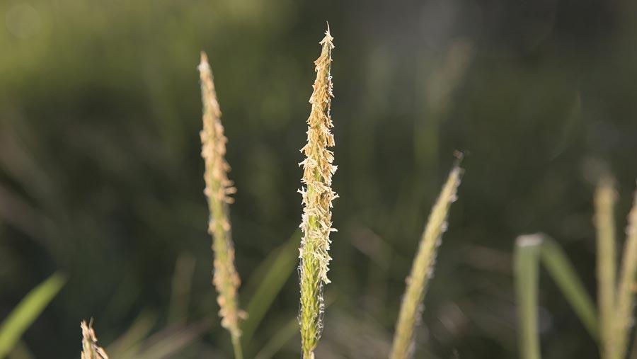 Blackgrass © Tim Scrivener