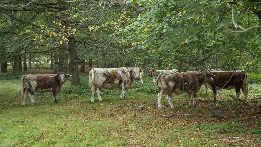 Longhorn grazing in Clumber Park, Nottinghamshire © REX/Shutterstock