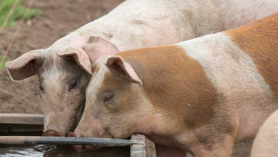 Скільки вартуватимуть живі свині забійних кондицій у закупівлі 21 – 27 вересня 2020 року