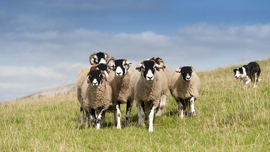 Ewes on a hill farm