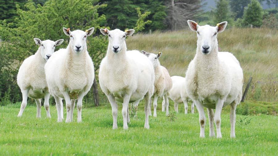 Rhun Williams' sheep