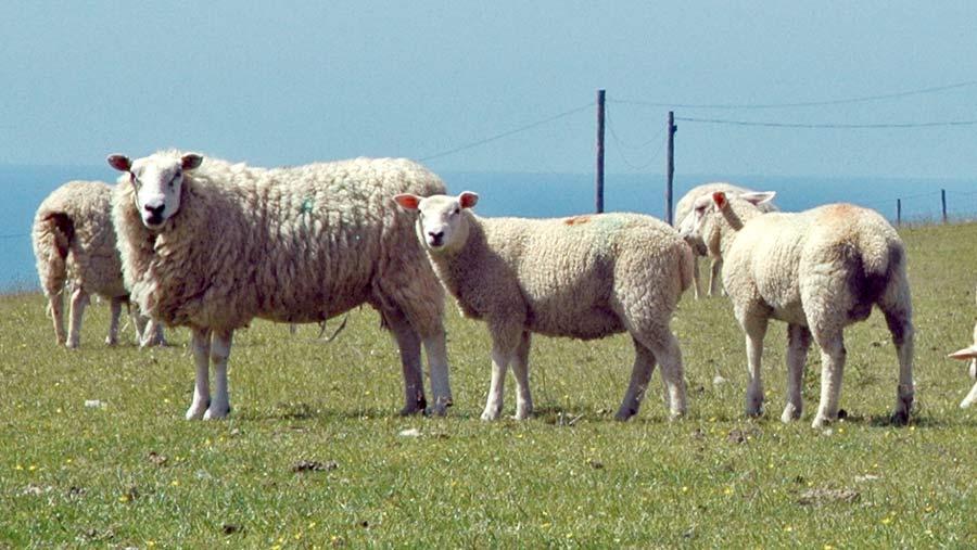Aberfield Talybont Welsh ewes with 15-week-old Abermax lambs