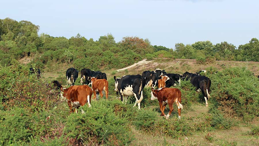 Tom Hordle with cattle in the New Forest © Oli Hill/RBI