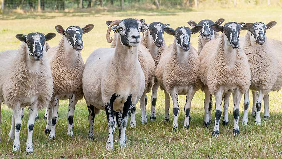 The Sedgley family's Mules