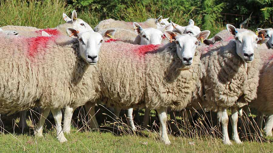 Sheep with red paint
