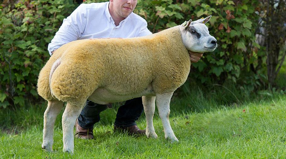 Ram lamb Ducati