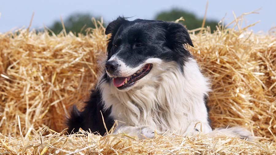 Harvest dog