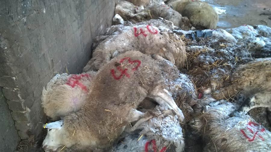 Dead sheep found at Haithwaite Farm, Penton, Cumbria