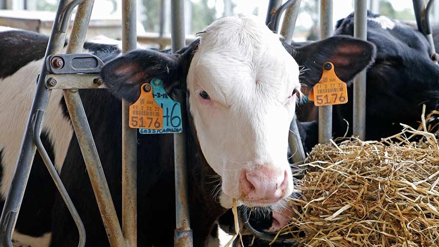 Cross-bred calf © Rhian Price