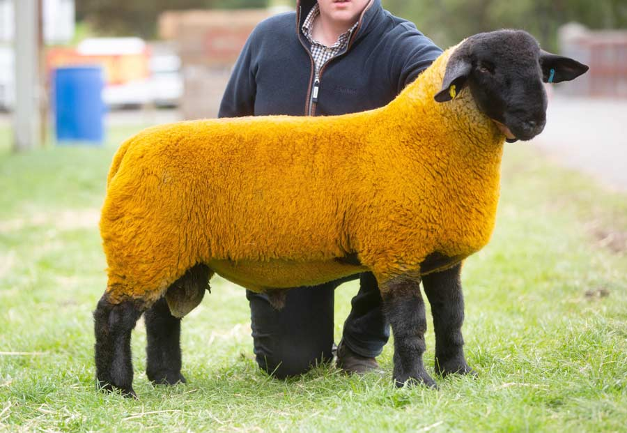 Cairness ram lamb