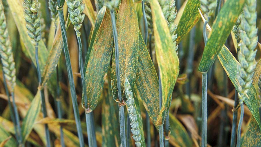 Brown rust on wheat