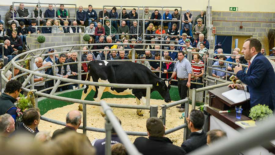 Oakroyal Camelot Promis in the auction ring at Sedgemoor