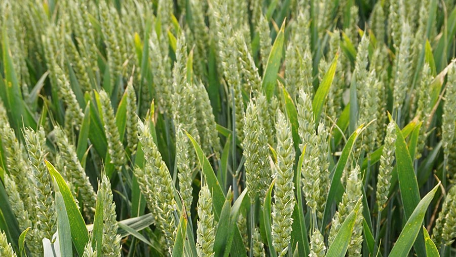 Limagrain's wheat variety Skyscraper