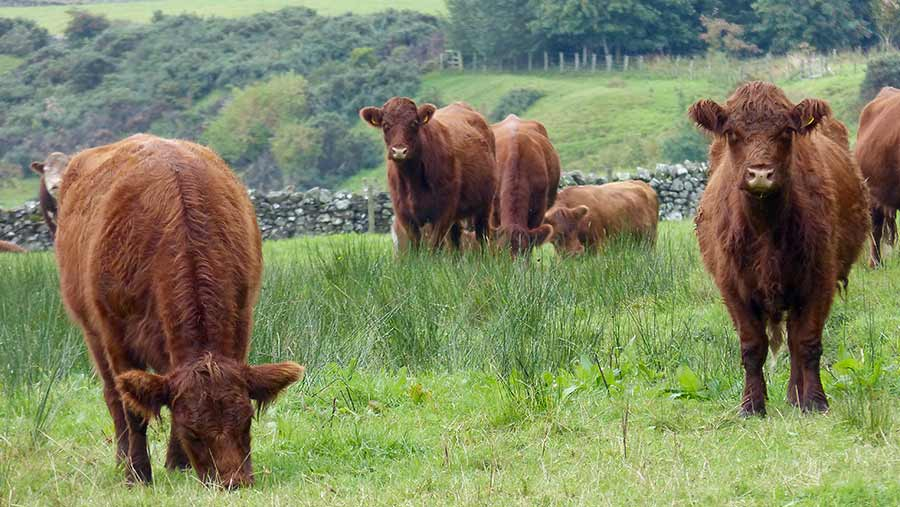 Highland-cross Shorthorn cows in a field