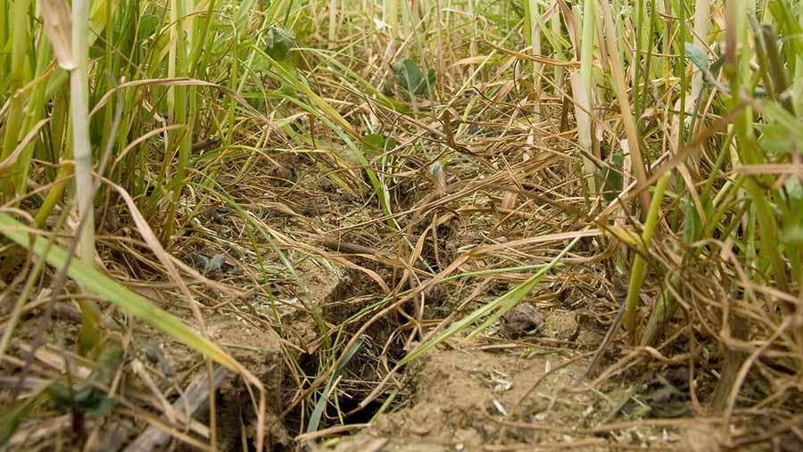 Natural shrinkage resulting from this summer's drought has effectively subsoiled some fields © Tim Scrivener