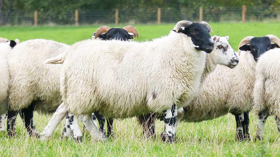 Sheep at Bowhill Farm