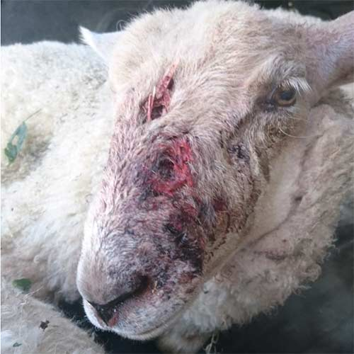 Injured sheep after dog attack