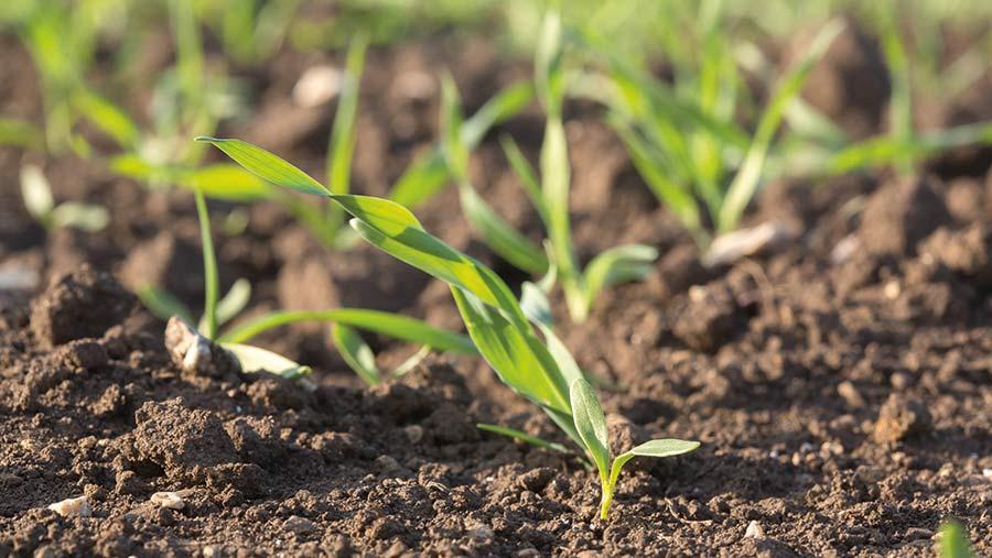 Sugar beet undersown with barley