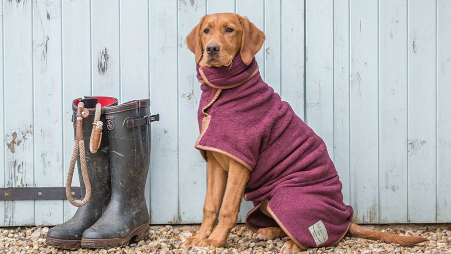 A majestic Labrador sits wearing a burgundy drying coat