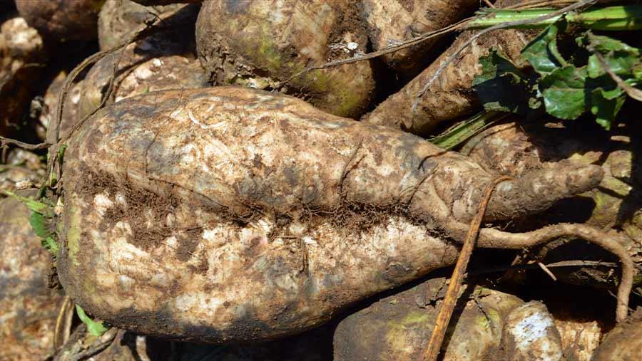 Close-up of harvested sugar beets
