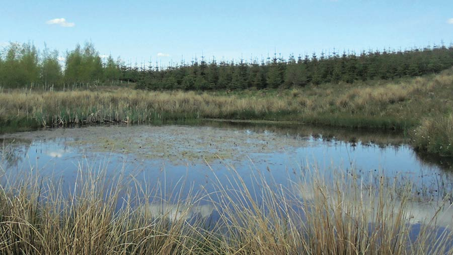 A pond in the foreground with plantation conifers in the background