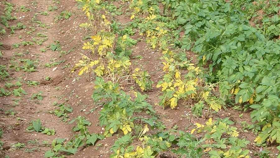A field of Maris Peer potatoes suffering damage from potato cyst nematode
