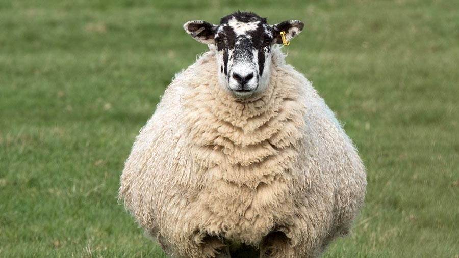 A clearly pregnant ewe standing on grass