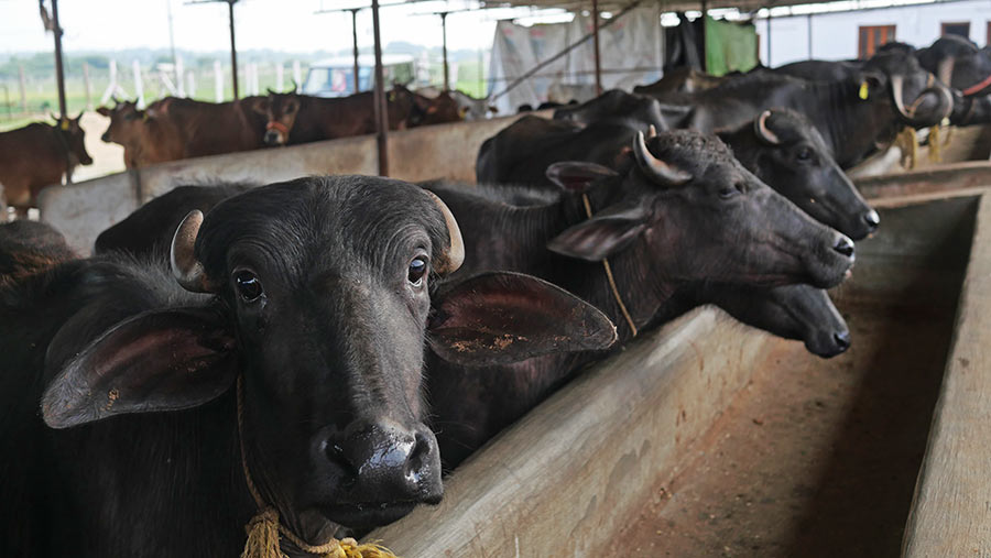 Cattle at Sid's Dairy, Tallapally Telangana, India