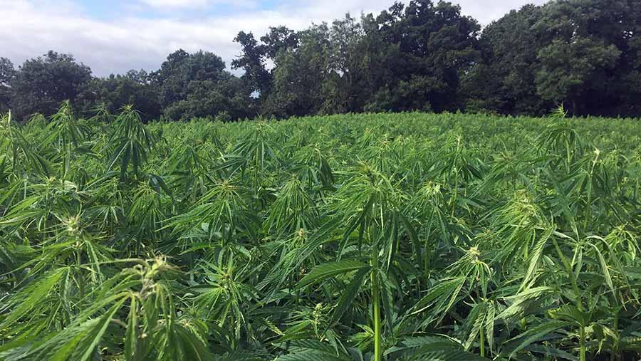 A field of hemp plants
