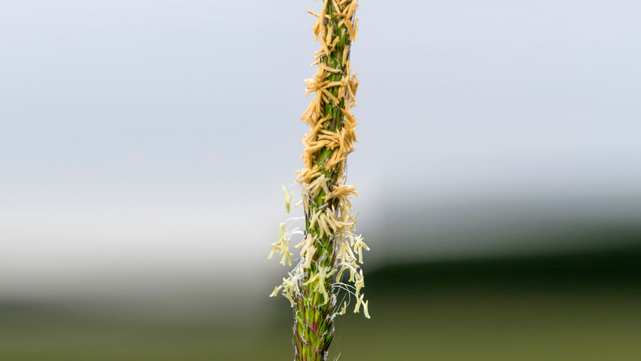 Blackgrass Plant