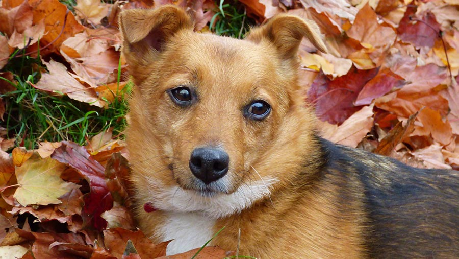 Dog sitting in autumn leaves by debbie silverthorne