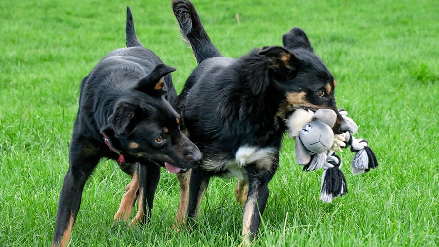 Dogs playiing with toy from Zoe Davies