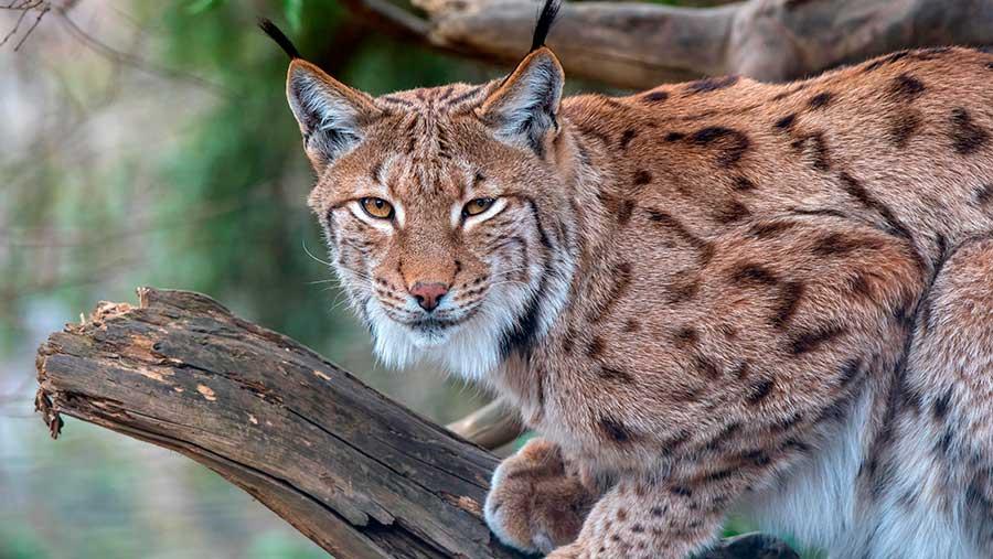 A Eurasian lynx © Reinhard Holzl/imageBROKER/REX/Shutterstock