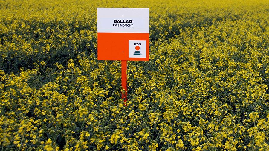 A crop plot of Ballad oilseed rape