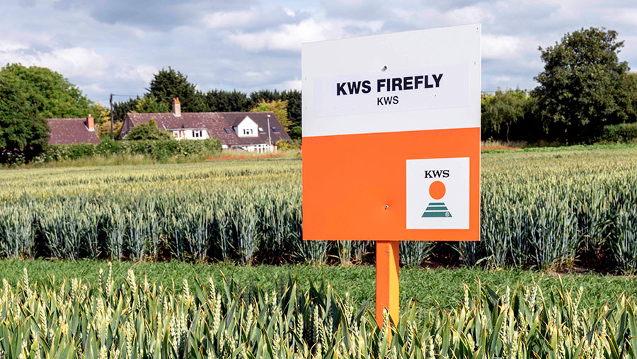 A crop plot of Firefly winter wheat